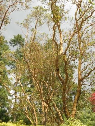 'Aussie' trees