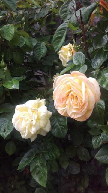 Peach roses 1 (360x640)