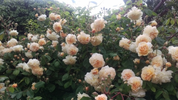 Peach roses 2 (640x360)
