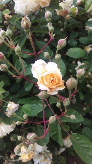 Peach roses 3 (360x640)