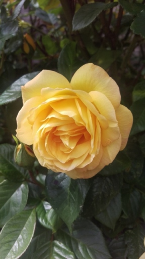 Yellow rose (360x640)