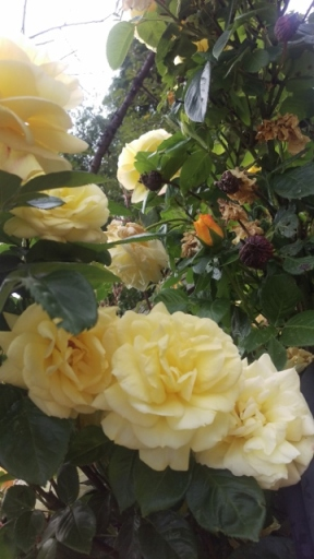 Yellow roses 1 (360x640)